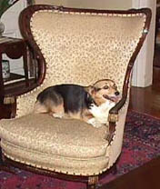 Corgi In Chair